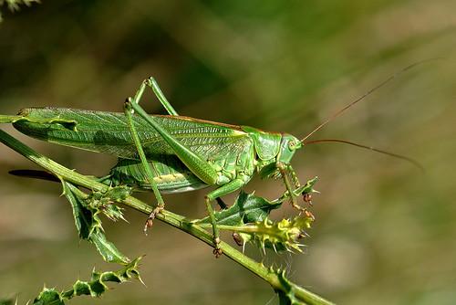 green nature bush nikon great natur cricket grön grashopper tettigonia viridissima d90 gräshoppa hona vårtbitare