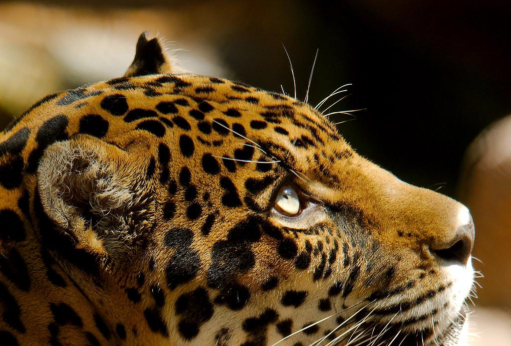 Jaguar (Panthera onca)_27_v2