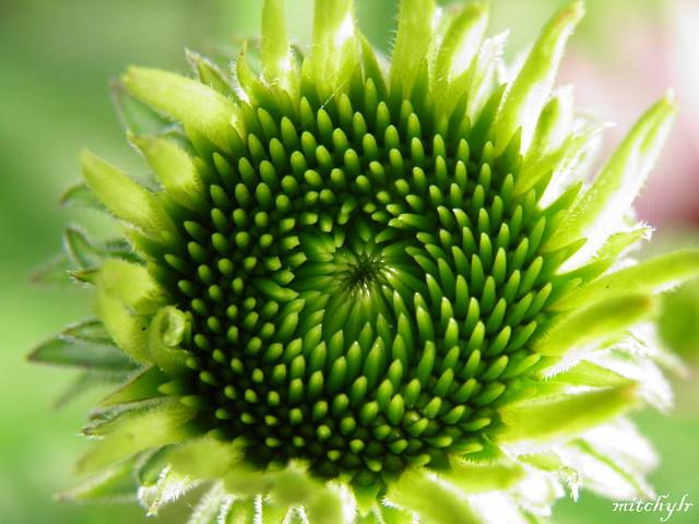 Echinacea Heart 1