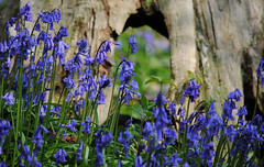 Bluebells at Emmetts Garden