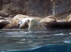 Memphis Zoo 09-03-2009 - Polar Bear 1