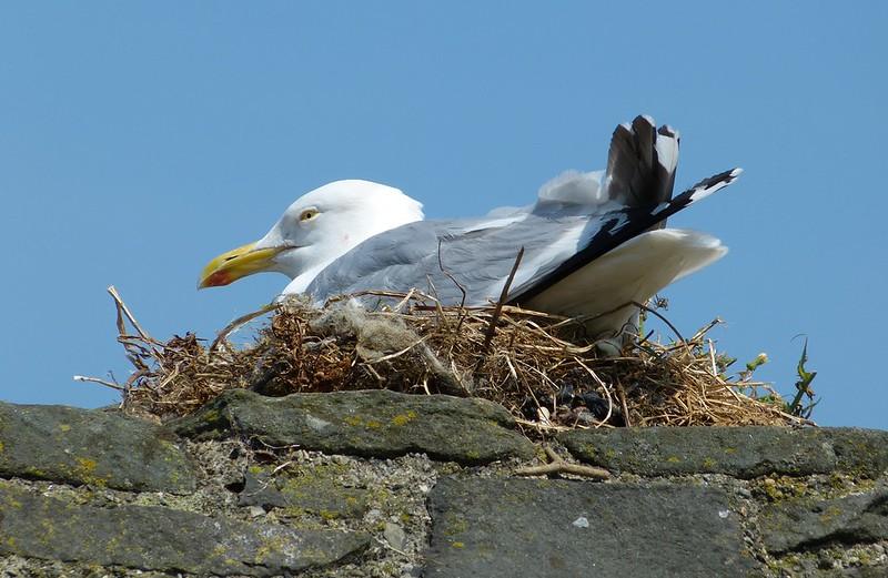 P1070935 - Herring Gull, Conwy