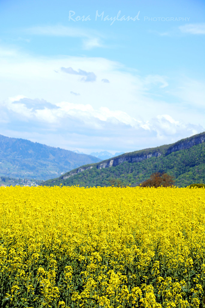 Spring Walk - Colza Fields