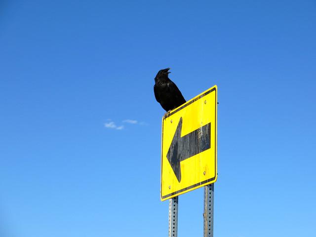 crow near flagstaff