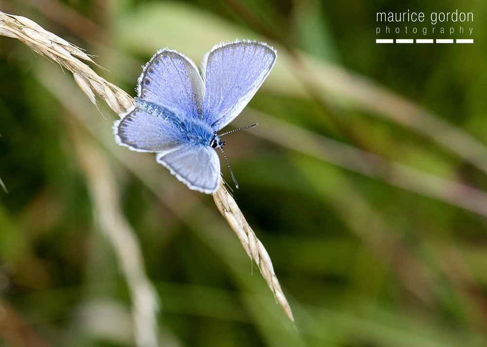 silver-studded-blue-1249