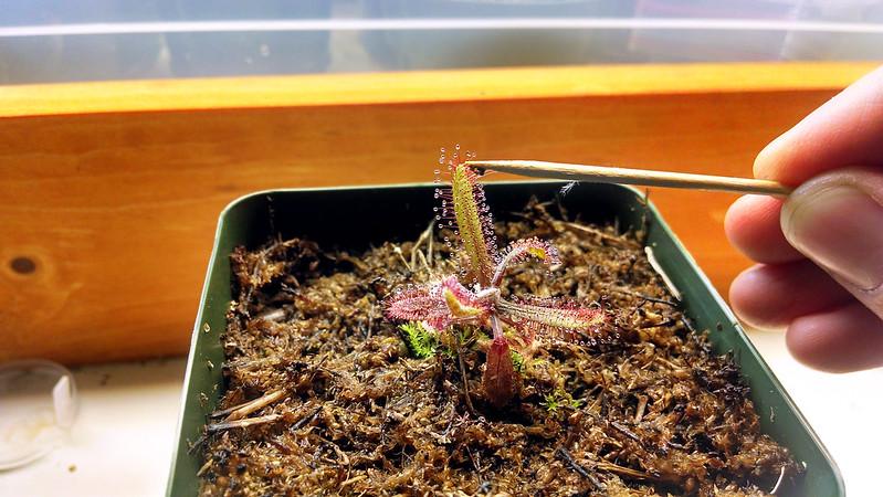 Drosera adelae being fed.