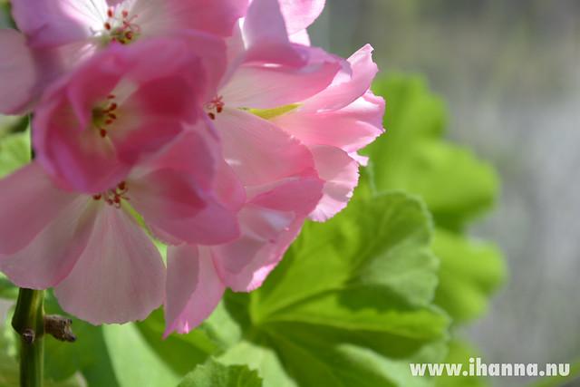 My pink Geranium