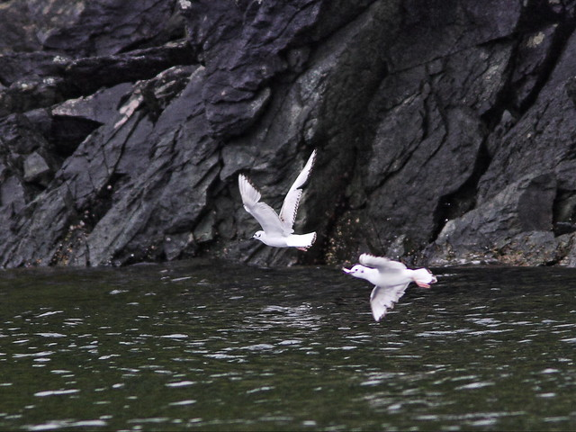 Red-legged Kittiwakes 20140615