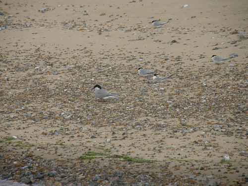 Common terns and little terns?