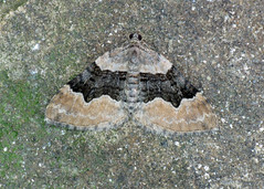 1726 Large Twin-spot Carpet - Xanthorhoe quadrifasiata