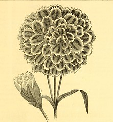 "Image from page 10 of ""W.C. Wilson's annual descriptive catalogue of new and selected bedding plants, for the spring of 1871, embracing roses, dahlias, fuschias, chrysanthemums, summer climbers, fruit trees, grape vines, small fruits, evergreens, shrubs,"