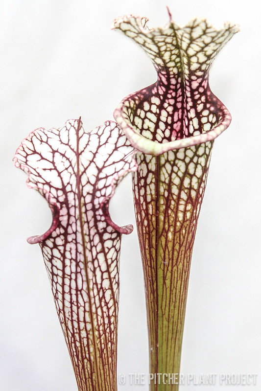 Sarracenia (rubra gulfensis x leucophylla) x 'Leah Wilkerson'