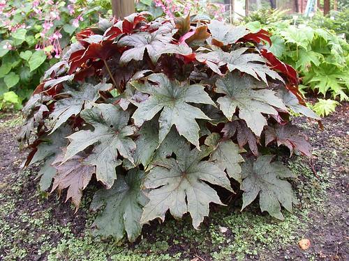 Begonia 'Red Empress'