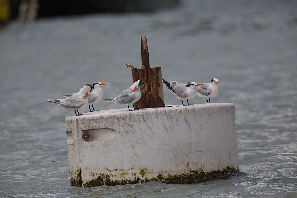 Royal Tern 2014-01-30