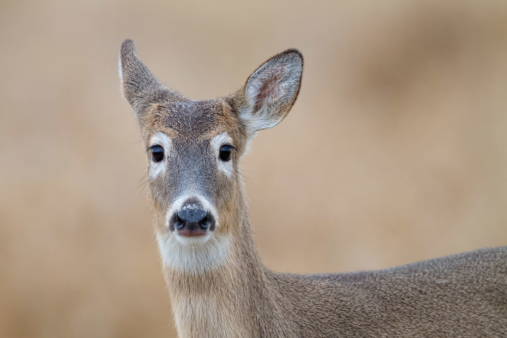 A Columbian white-tailed deer fawn