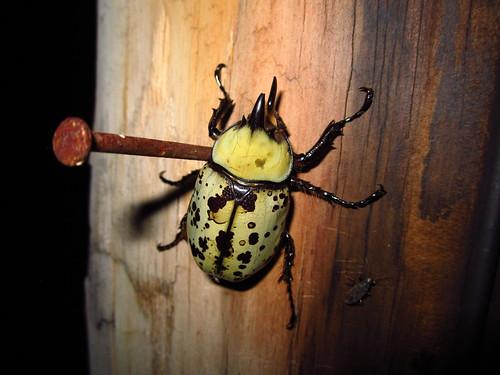 Eastern Hercules Beetle, Dynastes tityus #1