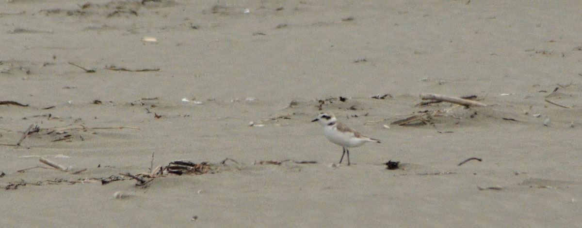 Snowy Plover (adult)