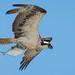 NY Osprey 2014