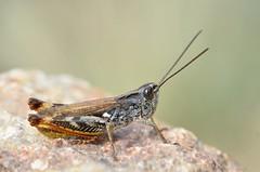 Chorthippus saulcyi male