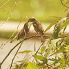 Lovebirds Kissing