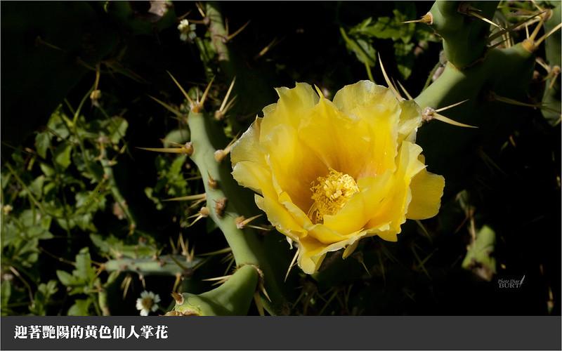 迎著艷陽的黃色仙人掌花