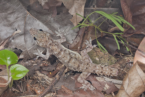 Hemidactylus brookii IMG_2425 copy