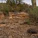 Sonoran Desert Tortoise, Gopherus morafkai by Marisa.Ishimatsu