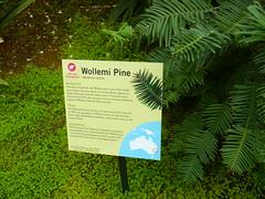 About Wollemi pine