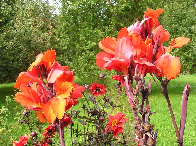 Canna 'General Eisenhower'  blooms