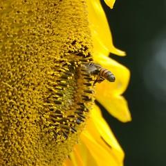 Zonnebloemen / Sunflowers