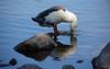 Duck Drinking