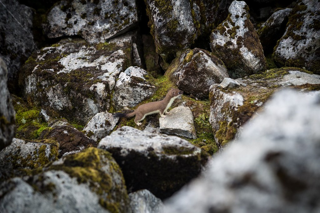 The curious case of the short-tailed weasel running in franzy over rock and fjell. On average, males measure 187–325 mm (7.4–12.8 in) in body length, while females measure 170–270 mm (6.7–10.6 in). To encounter a weasel when setting out for a journey was considered bad luck, but one could avert this by greeting the stoat as a neighbour, which I gladly did. A couple of hours later we climbed on the summit of Slogen, once desribed as the one of the proudest mountains in Europe.