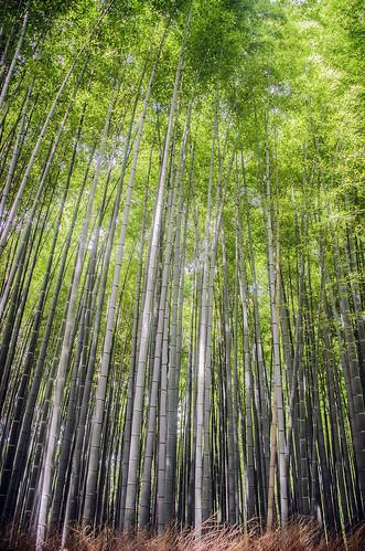 green japan vertical kyoto grove bamboo arashiyama sagano f64g66r3win