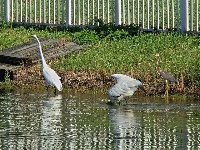 Stork and herons relocate 4-20140912