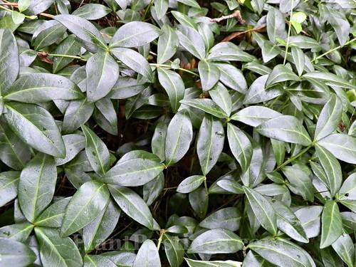 vinca foliage