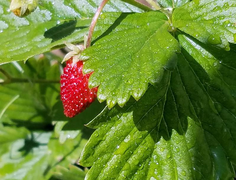 20170401_Strawberry