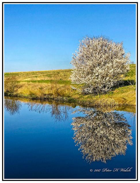 Nature - May Tree - Hawthorne - Crataegus monogyna- on the banks of the Grand Union Canal Bradwell, Milton Keynes, England.