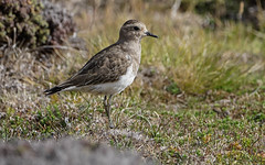 Chorlito Pecho Colorado / Chorlo Chileno / Rufous-chested Dotterel / Charadrius modestus