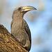 Malabar Grey Hornbill ( Female ) by Anuj Nair
