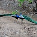 Ranthambhore peacocks-2