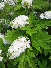 guelder rose(0.0), hydrangea serrata(0.0), shrub(1.0), flower(1.0), plant(1.0), hydrangeaceae(1.0),