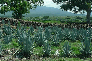 Tequila - Agave farm
