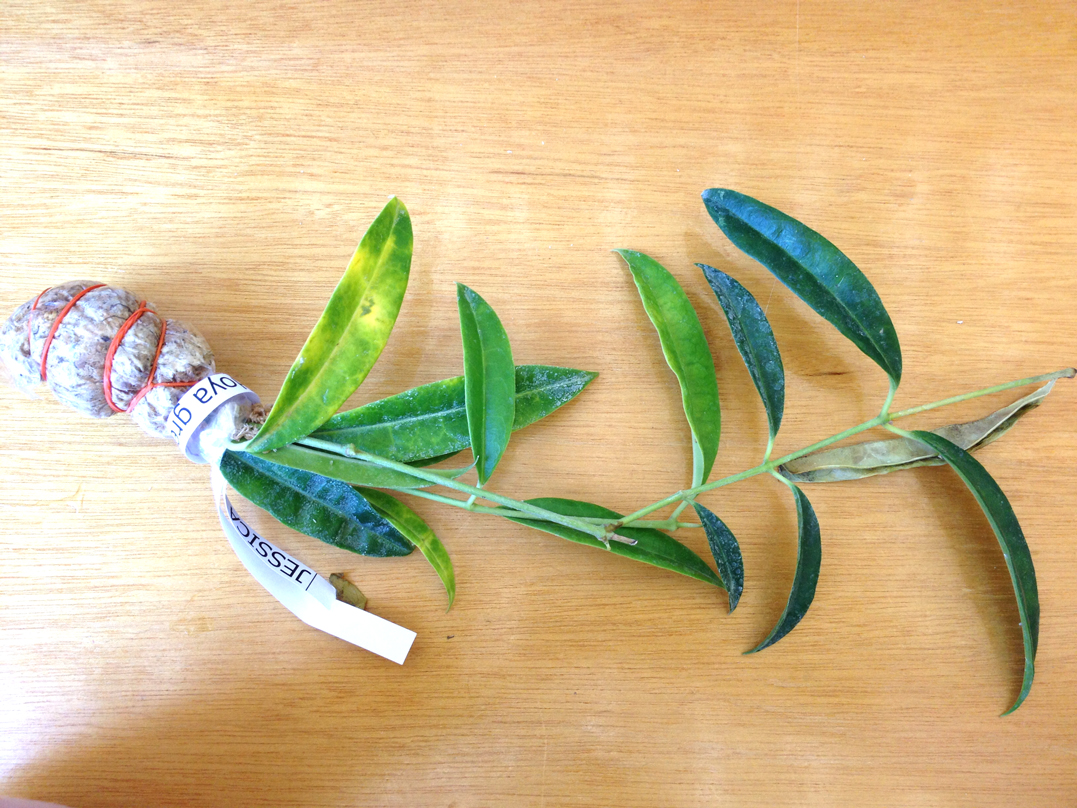 Hoya greenii (EPC 256)