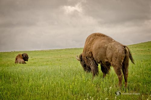 southdakota custerstatepark buffaloes