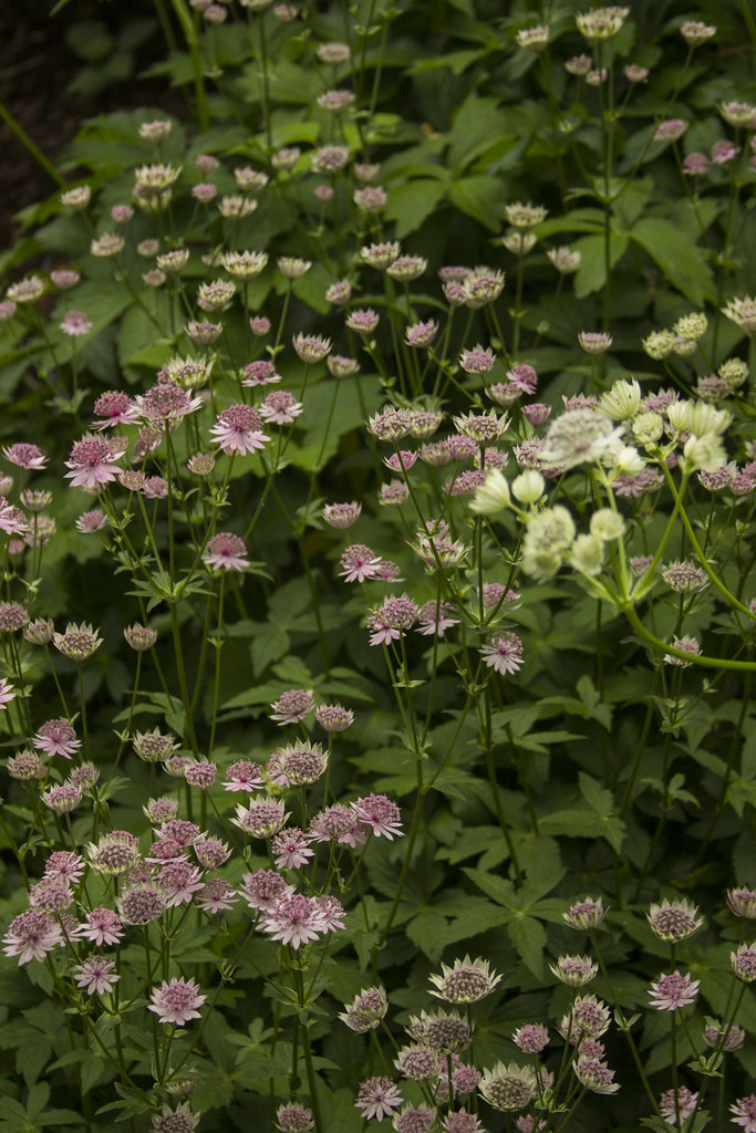 Astrantia patch