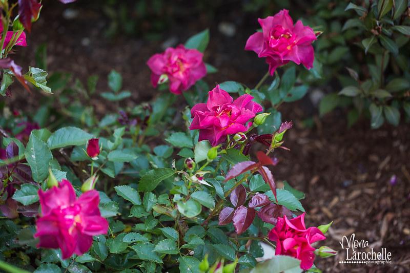 Rosa Cinco de Mayo 14462355907_07c1c04b2f_c