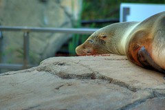 Resting California Sea Lion