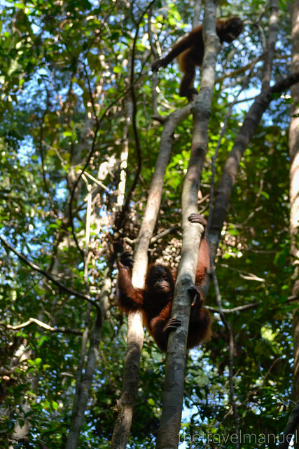 Wild Orangutan coming down quickly
