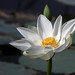 uttampegu posted a photo:	White Lotus flower in Govardhan Vilas Lake in Udaipur
