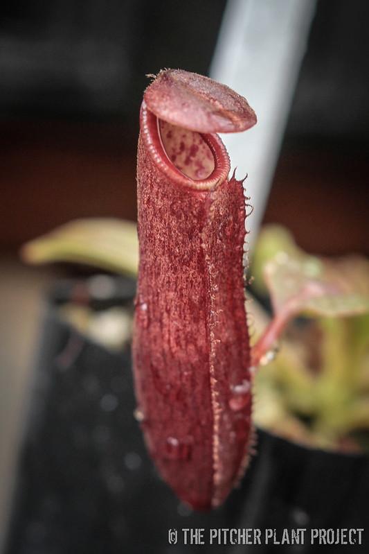 Nepenthes densiflora x glandulifera